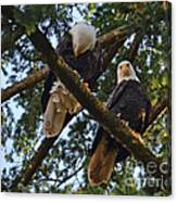 Nesting Bald Eagles Perching Canvas Print