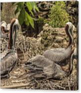 Nesting Brown Pelicans Canvas Print