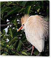 Nesting Cattle Egret Canvas Print