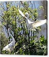 Nesting Great Egrets Canvas Print