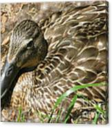 Nesting Mallard Canvas Print