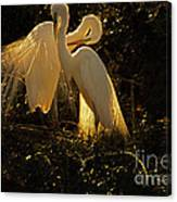 Nesting Pair Of Snowy Egrets Canvas Print