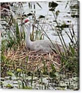 Nesting Sandhill Crane Canvas Print