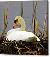 Nesting Swan Canvas Print