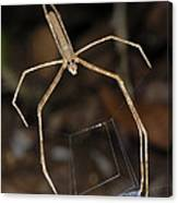 Net-casting Spider Canvas Print