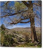 Nevada Cottonwood Canvas Print