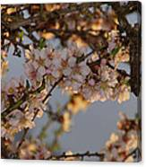 New Blossoms - Old Almond Tree Canvas Print