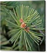 New Blue Spruce Buds Canvas Print