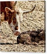 New Born Cow Calf Canvas Print