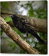 Red Winged Blackbird - New Heights - 06.04.2014 Canvas Print