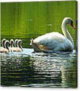 New Mute Swan Family In May Canvas Print