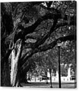 New Orleans Oaks Canvas Print