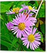 New York Asters In Flower's Cove-newfoundland Canvas Print
