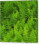 New York Ferns Canvas Print