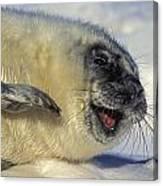 Newborn Gray Seal Pup Halichoerus Canvas Print