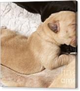 Newborn Labrador Puppy Suckling Canvas Print