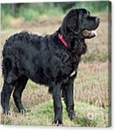 Newfoundland Dog, Standing In Field Canvas Print
