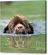 Newfoundland Dog, Swimming In River Canvas Print