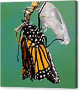 Newly-emerged Monarch Butterfly Canvas Print