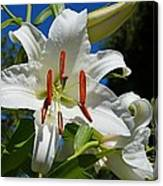 Newly Opened Lily Canvas Print