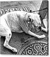 Newsworthy Dog In French Quarter Black And White Canvas Print