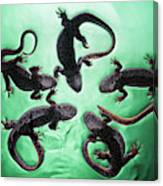 Newts  Pleurodelinae  On The Surface Canvas Print
