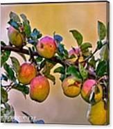 Nice Apples  Canvas Print