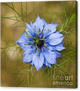 Nigella Damascena Canvas Print