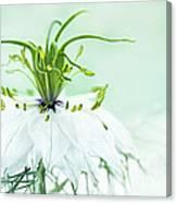 Nigella Damascena 'double White'  Canvas Print