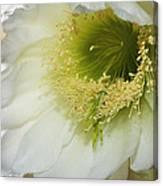 Night Blooming Cereus Cactus Canvas Print