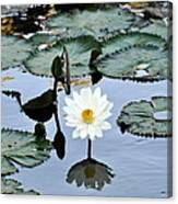 #night Blooming Water Lily Canvas Print