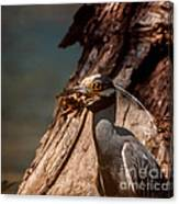 Night Heron And Crawdaddy Canvas Print