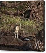 Night Heron At Corroboree Billabong Canvas Print