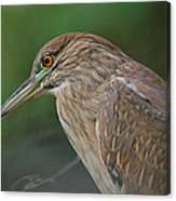 Night Heron Canvas Print