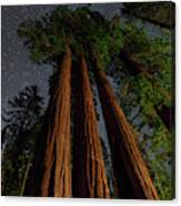 Night View Of Giant Sequoia Trees Canvas Print
