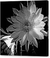 Nightblooming Cereus Cactus Flower Canvas Print