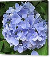 Nikko Blue Hydrangea Canvas Print