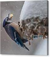 Blue Jay Finds A Peanut Canvas Print
