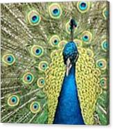 Noble Peacock Canvas Print