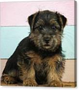 Norfolk Terrier Puppy Dog, Sitting Canvas Print