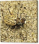 Northern Beach Tiger Beetle Marthas Canvas Print