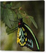 Northern Butterfly Canvas Print