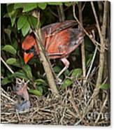 Northern Cardinal At Nest Canvas Print