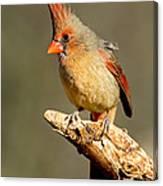 Northern Cardinal Cardinalis Cardinalis Canvas Print