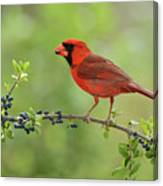 Northern Cardinal Male Eating Elbow Canvas Print