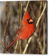 Northern Cardinal Male Long Island Canvas Print