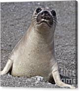 Northern Elephant Seal Weaner Canvas Print