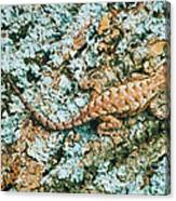 Northern Fence Lizard Canvas Print