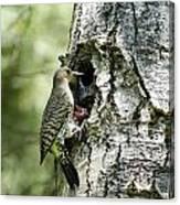 Northern Flicker Nest Canvas Print