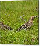 Northern Flicker Pictures 42 Canvas Print